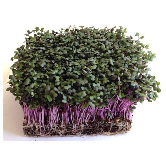 Vöröskáposzta mikrozöld